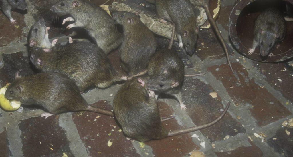 уничтожение крыс в Комсомольске-на-Амуре